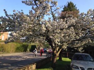 Cherry trees in full bloom line Grand Road in Cambridge